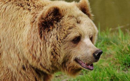 bear-1315128_640